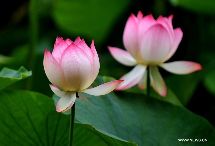 Lotus Flowers In Cuihu Park Sw China Peoples Daily Online