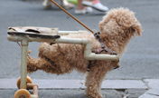 Paralyzed dog walks with dog wheelchair