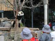 Tourists view Chinese giant panda couple in Adelaide