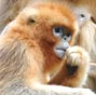 Wild golden monkeys live at Qinling Mountains in NW China