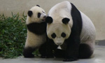 Panda cub Yuan Zai made public debut in Taiwan
