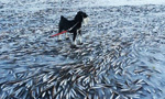 Thousands of fish frozen on Norway sea