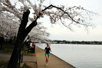 Cherry blossoms reach peak bloom in Washington D.C.
