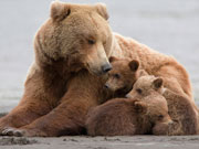 Love of mother bear