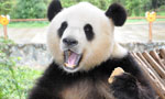 Giant panda Sijia is back to happy life
