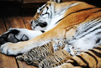 About 100 cubs expected to be born in NE China's Siberian Tiger Garden